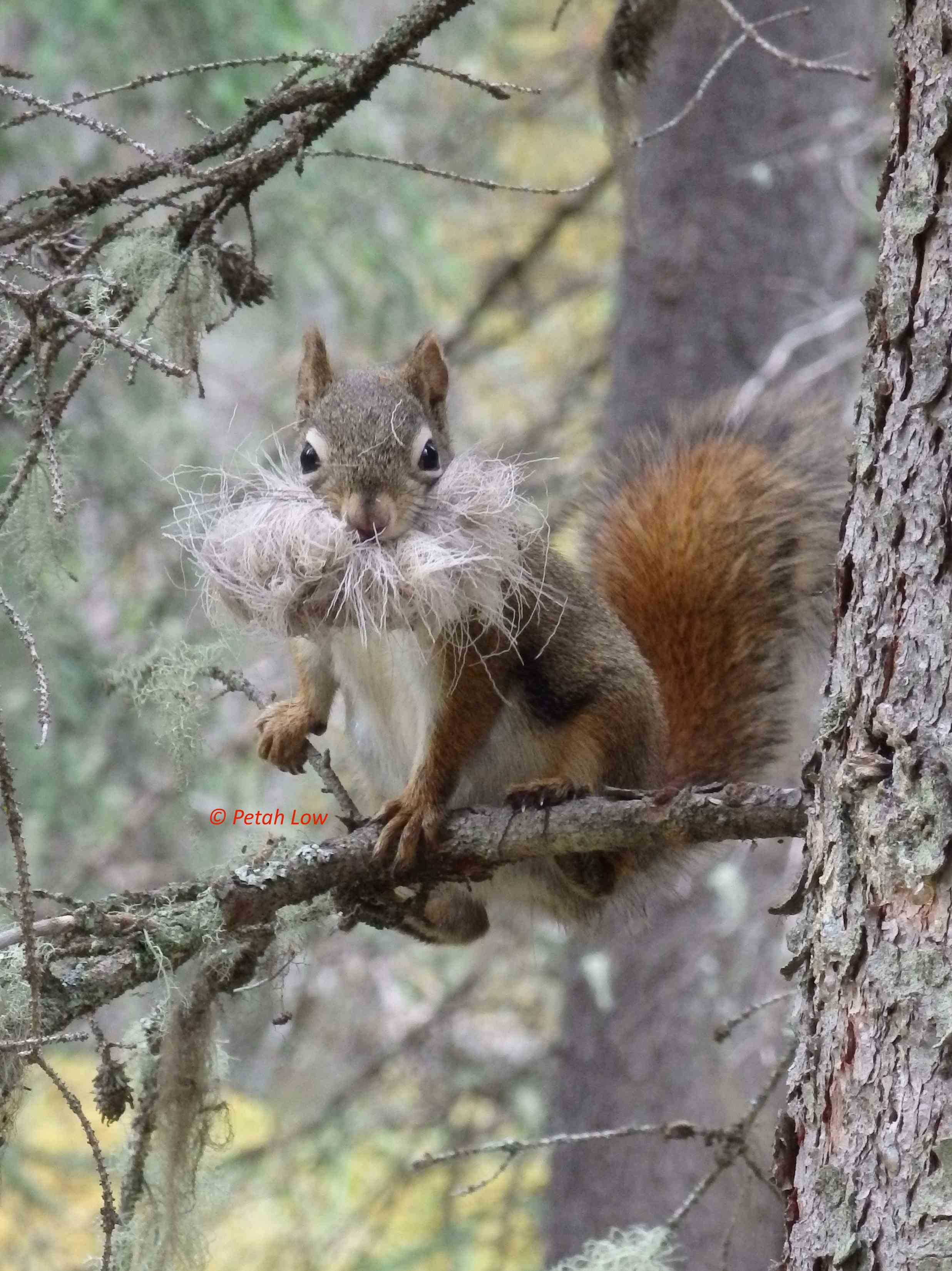 Red Squirrel-Petah Low